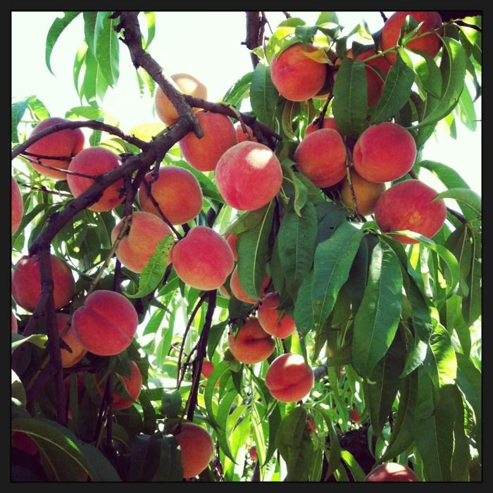 Peach Shortbread // Serious Crust by Annie Fassler