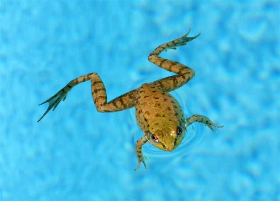 frog-swimming