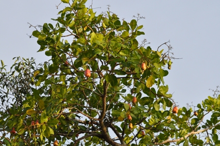1st. time I saw came across a cashew nut tree with plentiful fruits on it...