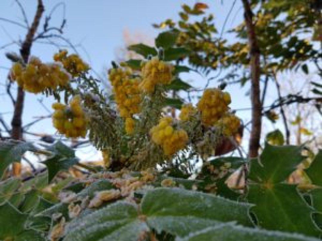 Fleurs de Mahonia givrées