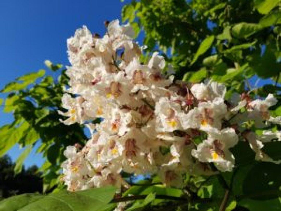 Fleurs de catalpa bignonioide