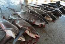 Ikan hiu di NTB
