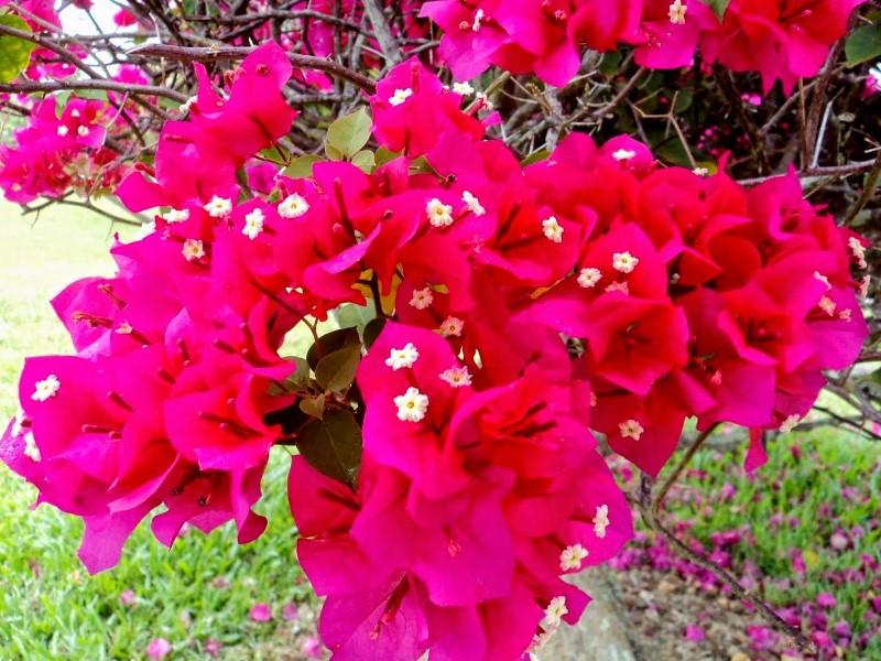 Pahami Lebih Dulu Pengertian Bunga Kertas Nan Indah Sebelum Ditanam