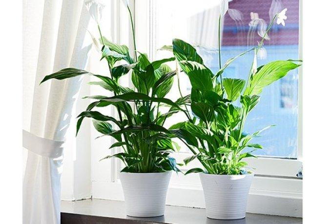 7 Jenis Tanaman Bunga yang Bisa Menebarkan Energi Positif di Dalam Rumah