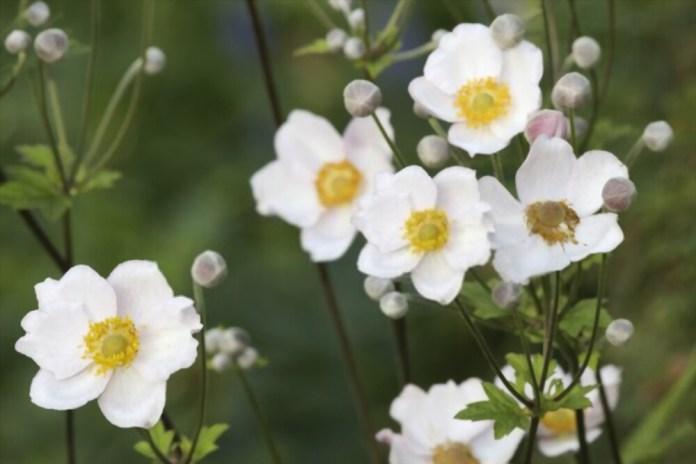 10 Bunga Berwarna Putih, Cocok untuk Menghiasi Taman di Rumahmu!