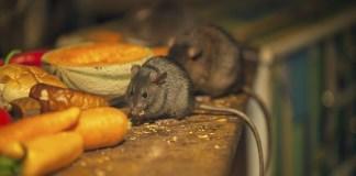 7 Tanaman Pengusir Tikus yang Harus Ada di Rumah