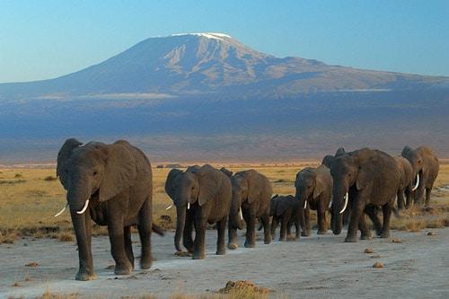 Elephants walking Mt Kiliminjaro background at www.servetolead.org