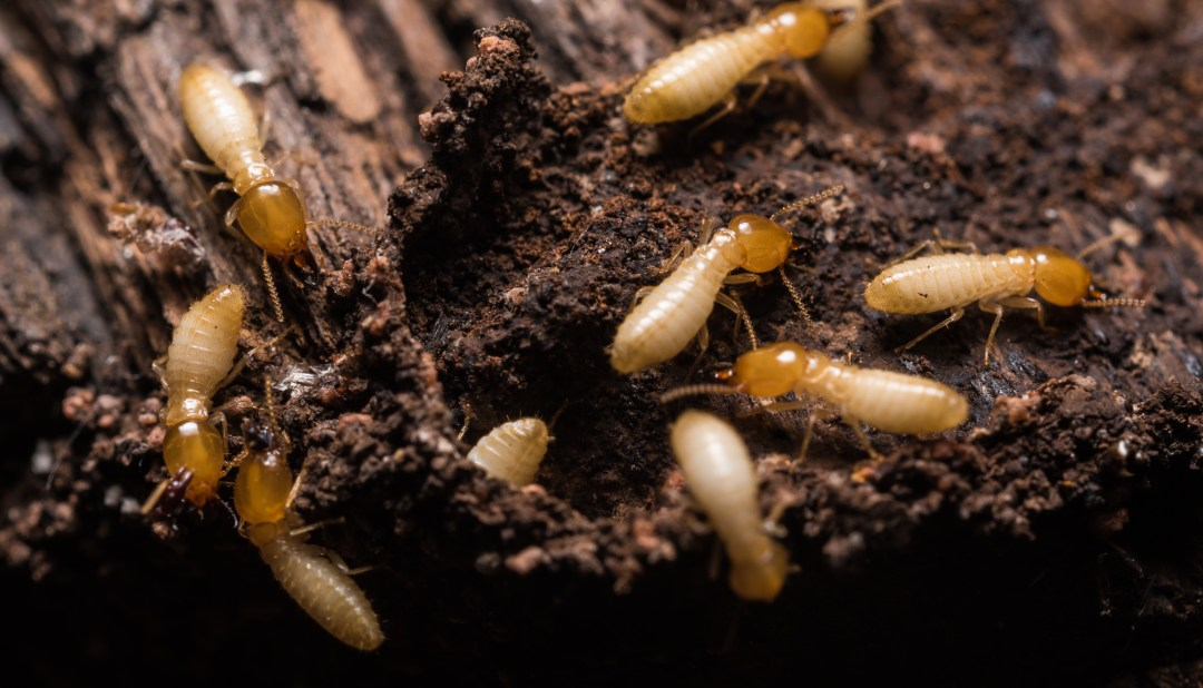 Now Offering: WDI (Termite) and Pest Inspections