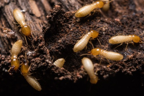round rock termite inspections