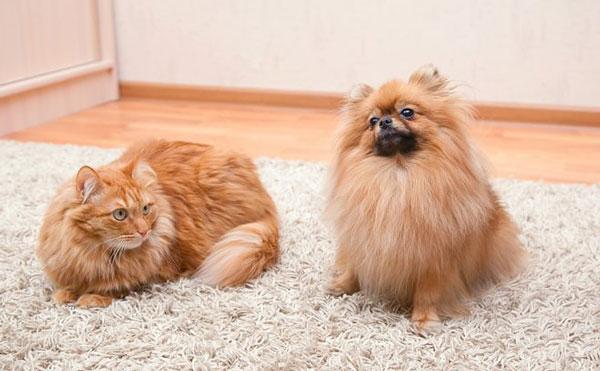 گربه و سگ در خانه