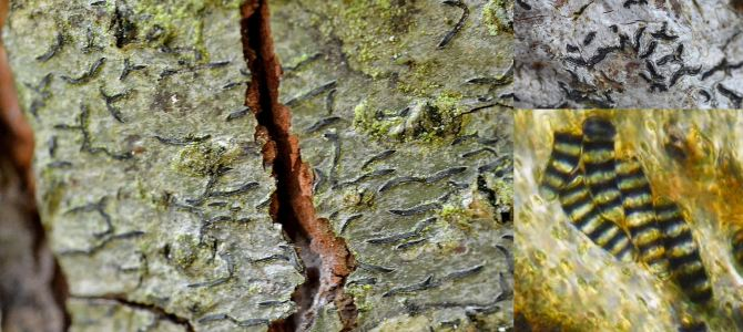 Inventaire Lichénologie Forêt d'Eawy