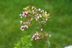 La marjolaine, fleur d'été