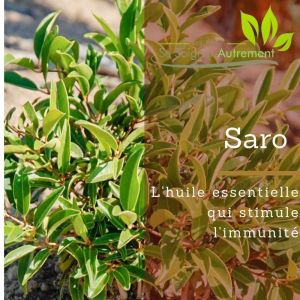 Le saro, l'huile essentielle qui stimule l'immunité