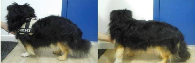 Un bel exemple de chien au dos voussé qui a été traité avec succès, sans chirurgie !