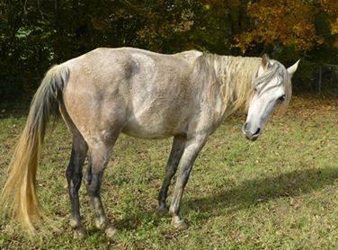 un exemple de cheval au dos voussé