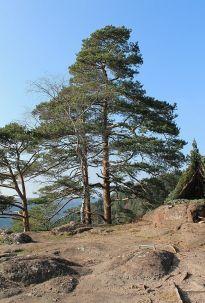 le pin sylvestre, majestueux sans être étouffant