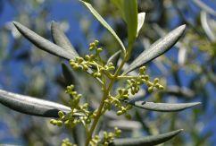 Les branches d'olivier étaient la récompenses des athlètes aux jeux olympiques antiques