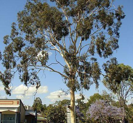 L'eucalyptus citronné, un eucalyptus qui n'en est pas un...