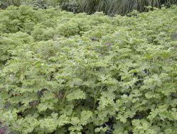 Ce sont les feuilles du géranium qui sont distillées