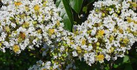 L'huile essentielle de myrte vert, pour respirer à plein poumon