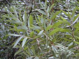 L'huile essentielle de niaouli concentre la puissance de ses feuilles