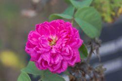 La si subtile huile essentielle de rose de Damas