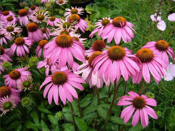 L'échinacée, la fleur de l'immunité