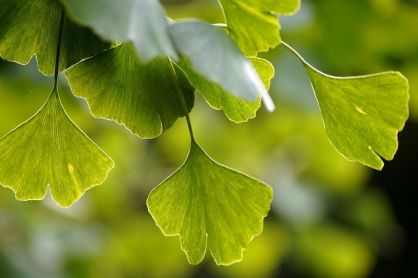 Le ginkgo biloba, l'arbre aux 40 écus