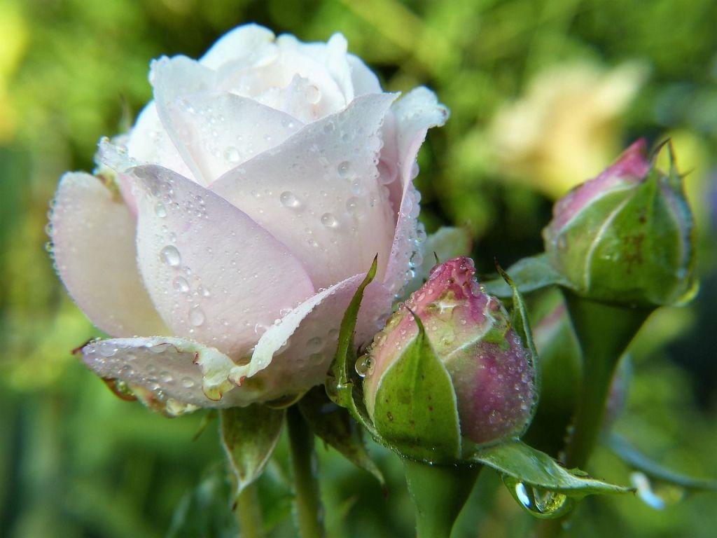 Laisser macérer des pétales de rose dans de l'eau ne donnera pas un hydrolat de rose
