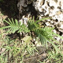 Pteris bahamensis