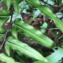 Cheilanthes viridis