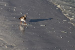 Plover on the beach at Tortuga Bay