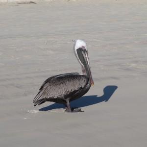Pelican at Tortuga Bay