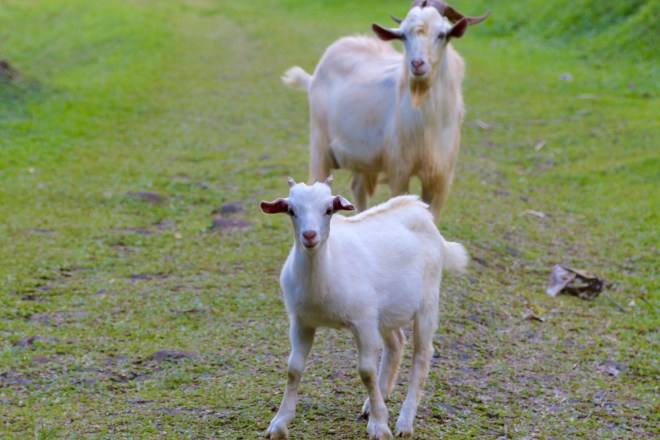 Rarotonga goats