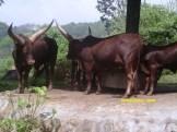 banteng di taman safari