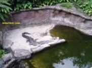buaya di taman safari indonesia