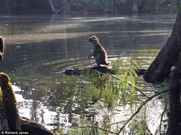 raccoon dan buaya saling bersahabat di hutan nasional ocala tahun 2015