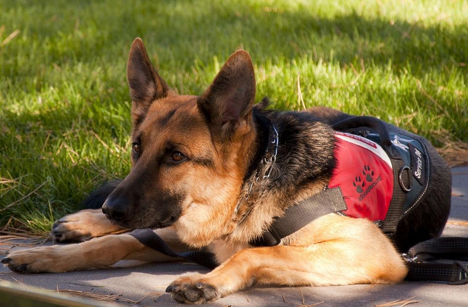 service-dog