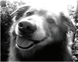 """Bear is a golden retriever/collie mix breed, some people call this mix breed a """"gollie."""" Photo courtesy by K.Ervin/Setonian"""