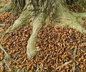 Some areas of the country will have millions of cicadas per acre. Photo from lipstickalley.com