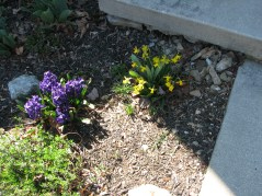 """Sweet little """"Tete a Tete"""" daffodils and purple """"Aida"""" hyacinth; candytuft getting ready to bloom in front of hyacinth"""