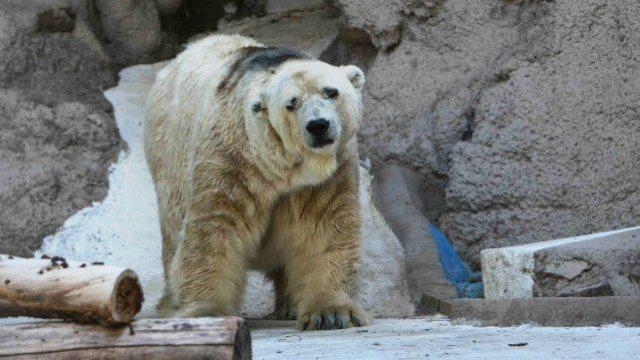 """Fallece en un zoológico argentino el oso polar """"más triste del mundo"""""""