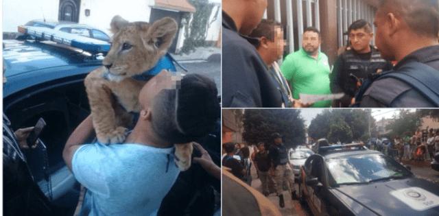 Aseguran a 'Simba', el león que paseaba por Iztapalapa