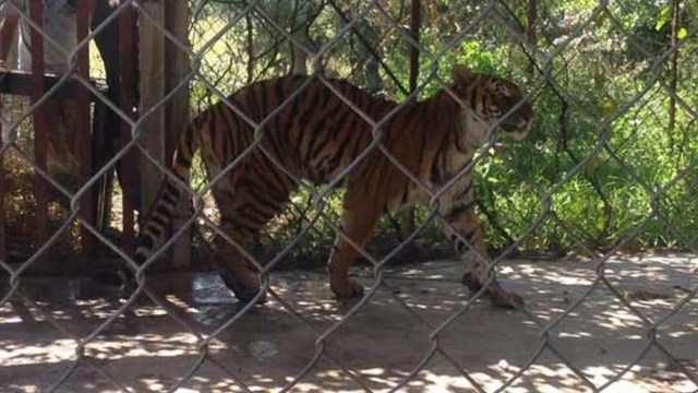 Abandonan a un tigre de bengala en un predio de Parácuaro