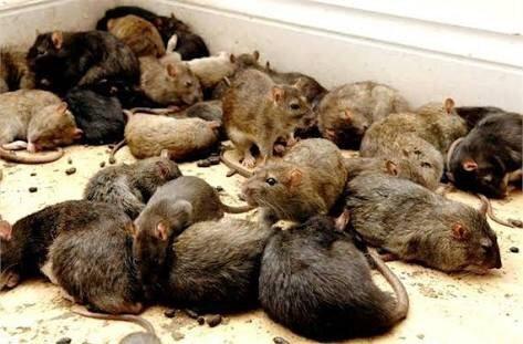 Bebé fue comida viva por ratas gigantes; su madre estaba de fiesta