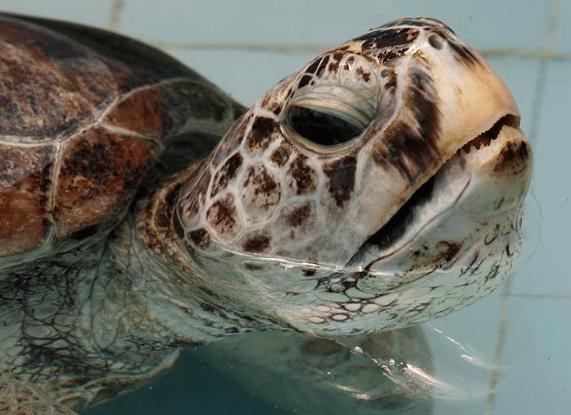 """Tortuga marina se convierte en alcancía viviente al tragar """"monedas deseo"""""""