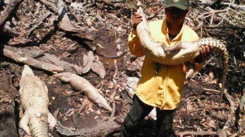 Rescatan a cocodrilos de ser sacrificados