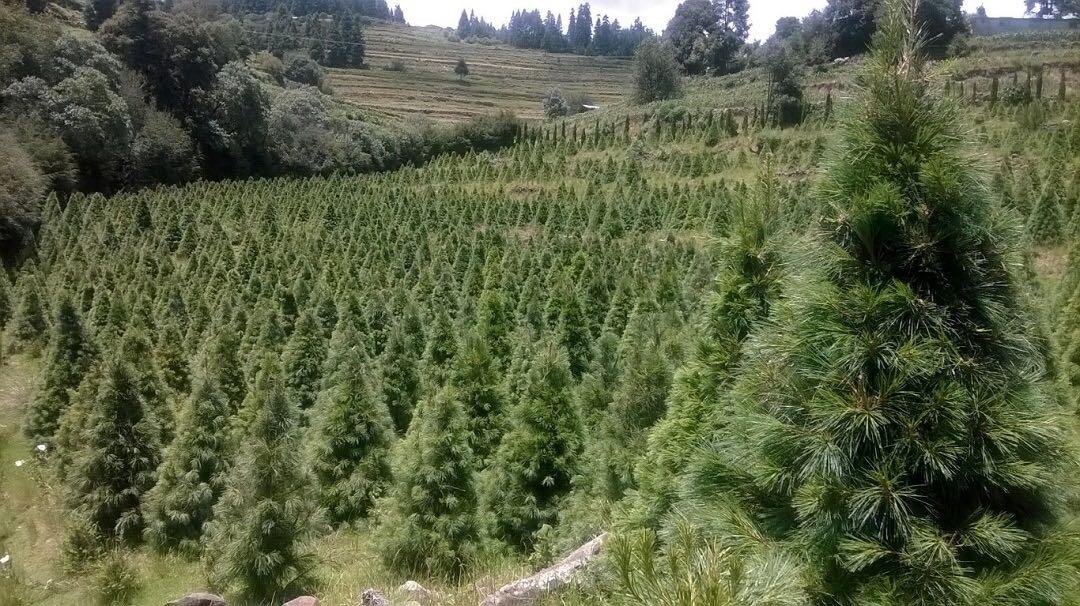 Pese a pandemia, miles de familias acuden a cortar árbol de Navidad