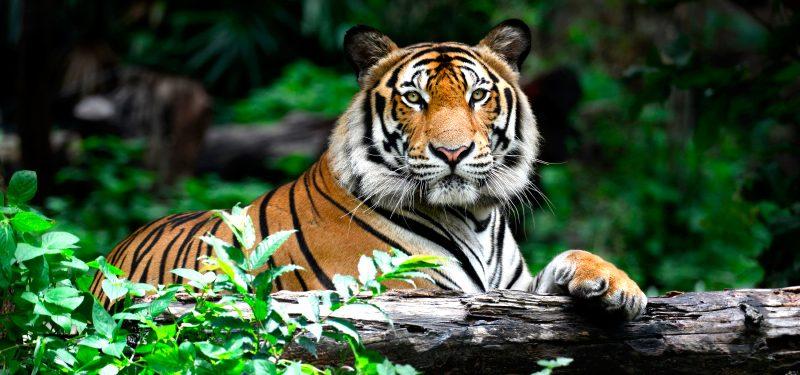 "Tigre mata a cuidador que vendía ""productos milagrosos"" de tigre"