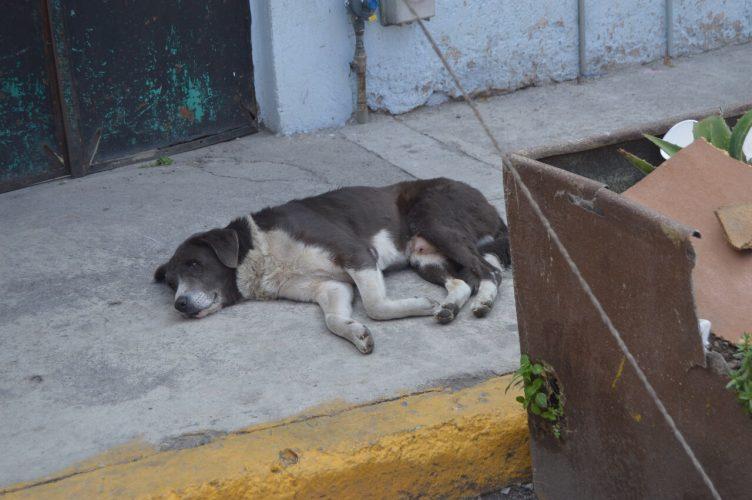 Sanciones para quien descuide a sus mascotas en Toluca